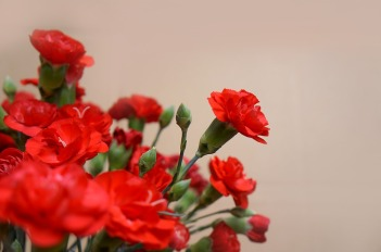 carnations-3200027_960_720