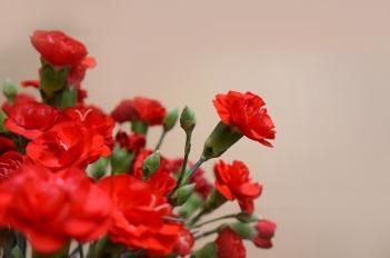 carnations-3200027_960_720