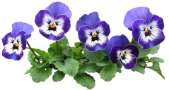 pansy-3417366__340.png